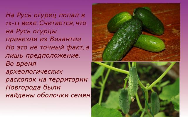 огурец в России