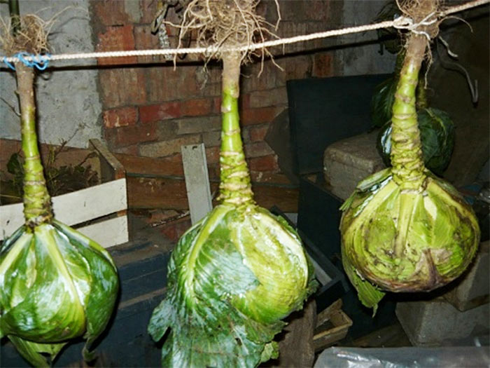 хранить капусту в подвешенном состоянии