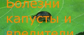 болезни капусты и вредители