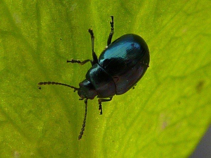 хреновый листоед(бабануха) вредители