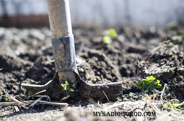 савойская капуста подготовка места