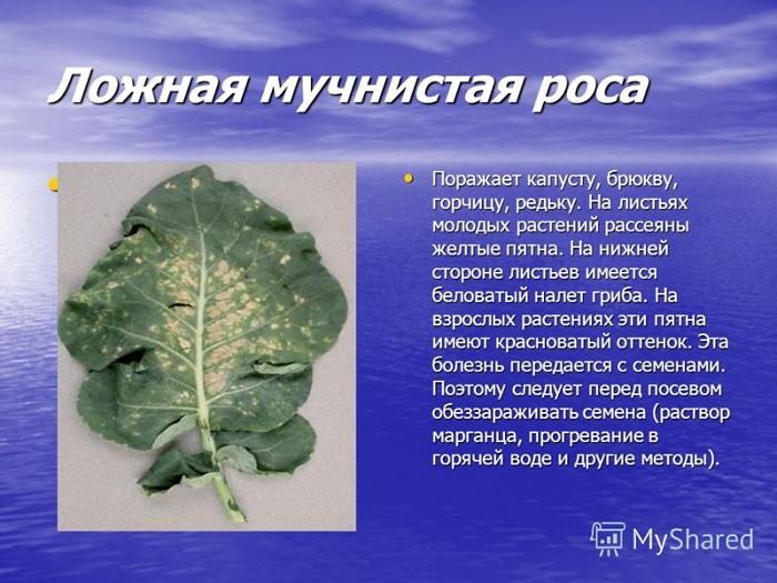 ложная мучнистая роса капусты болезни