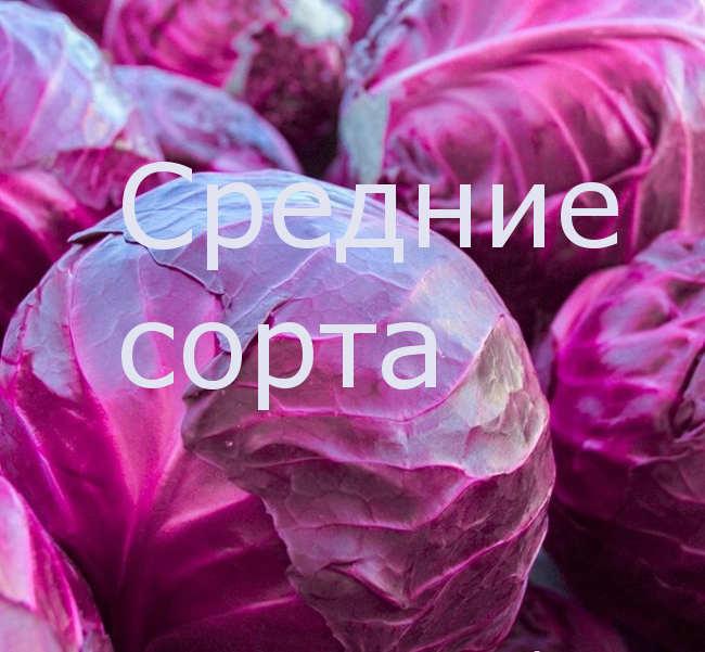 средние сорта краснокочанная капуста