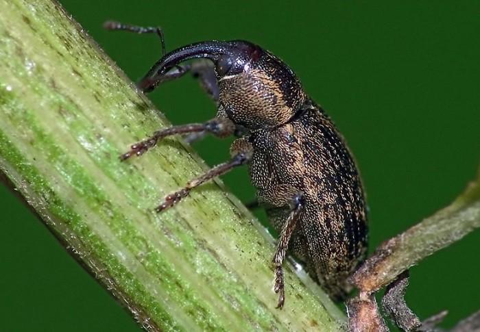 листовой капустный скрытнохоботник вредители