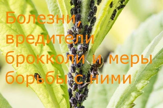 болезни брокколи