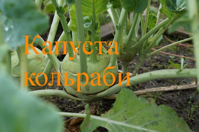 Капуста кольраби выращивание и уход, рассада, сорта, болезни