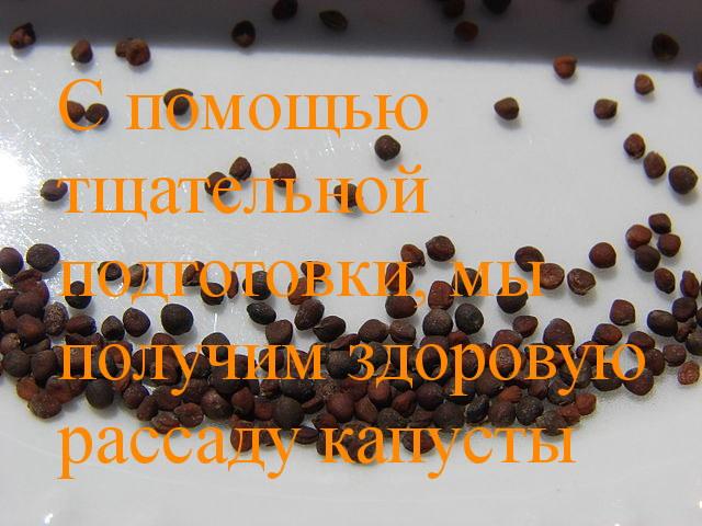 подготовка семян капусты