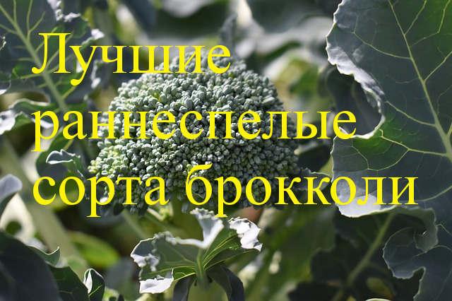 ранние сорта броколи
