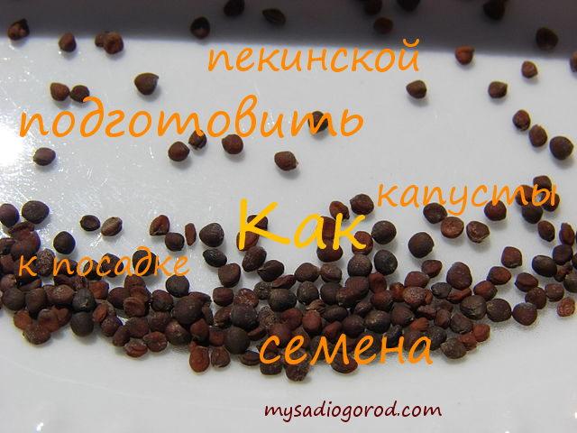 семена пекинской капусты