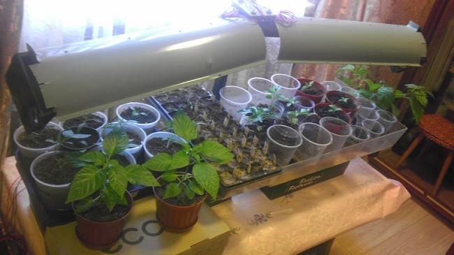 световой день выращивание рассады