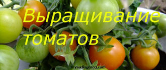 выращивание и томатов