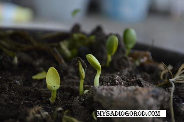 всхожесть семян подготовка семян