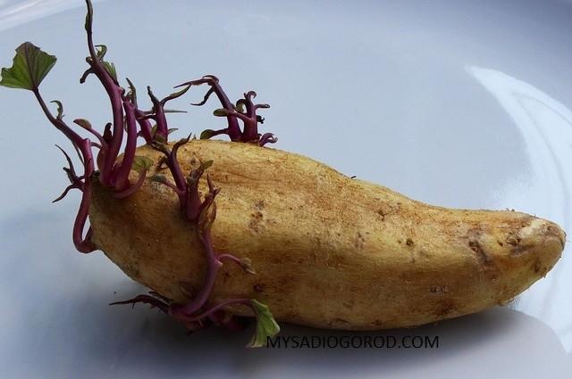 выращивание картофеля семена