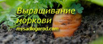 выращивание и моркови