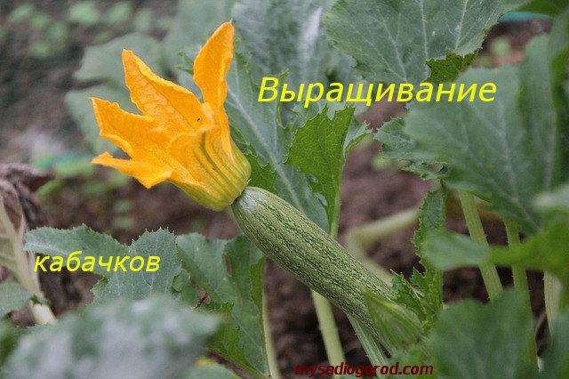 выращивании и кабачков