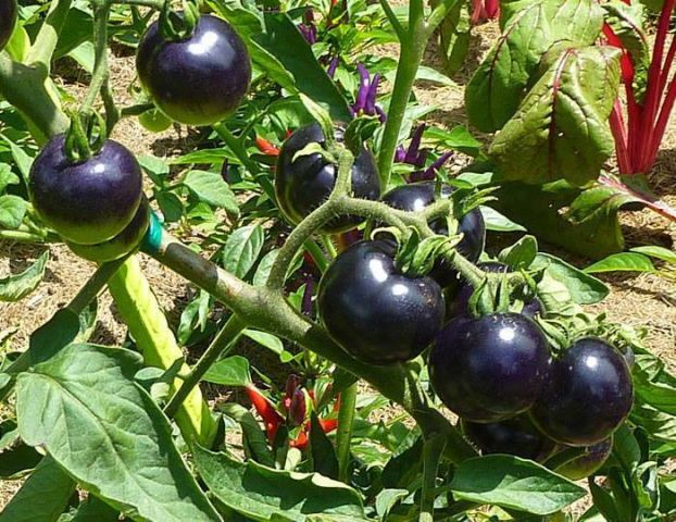 фиолетовые сорта томатов