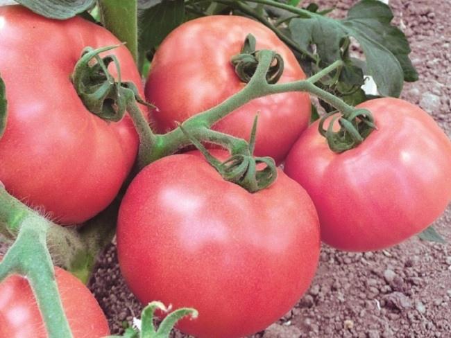 розовые помидоры сорта томатов