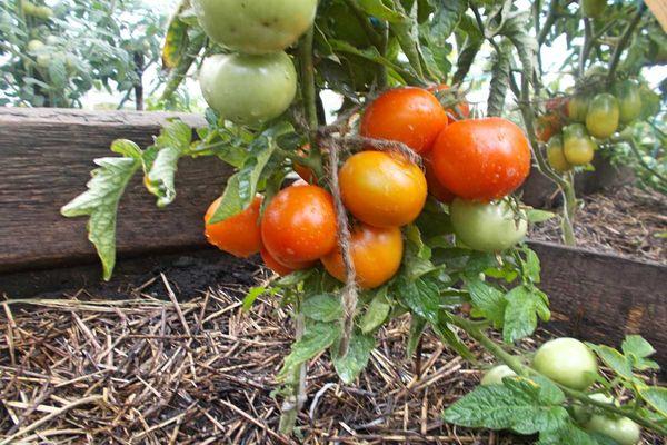 супердетерминантные помидоры