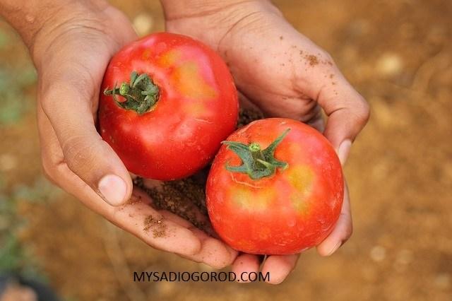 хранить помидоры