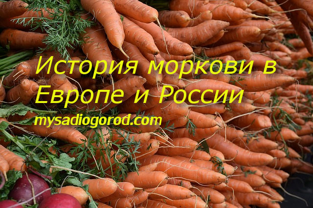 К чему относится морковь