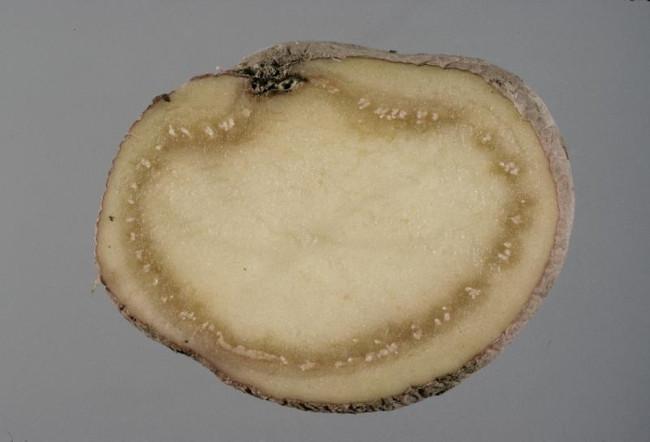 Бурая бактериальная гниль картошки