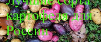 лучшие сорта и картофеля