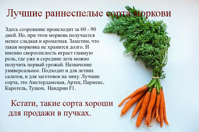 раннеспелая морковка