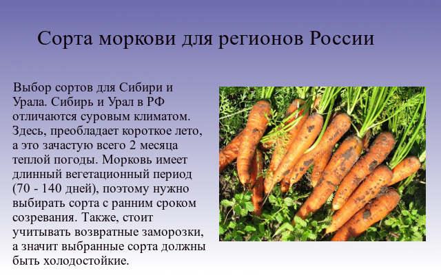 сорта моркови для регионов