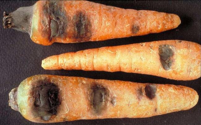 альтенариоз морковки