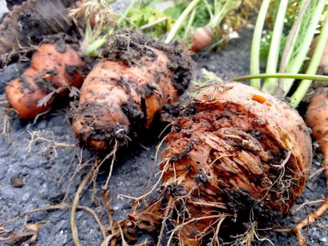 ризоктониоз морковки
