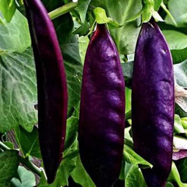Пурпурный Король горошек