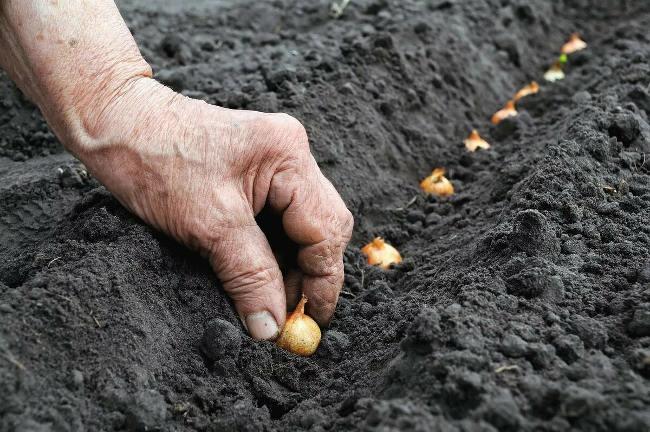 как садить севок