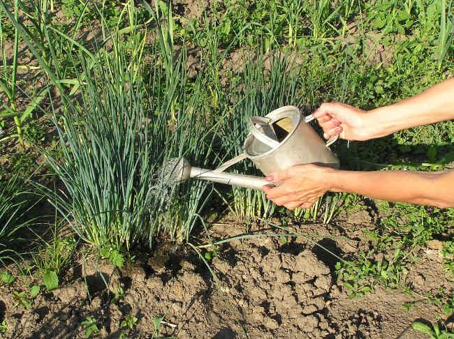 как ухаживать за луком выращивание