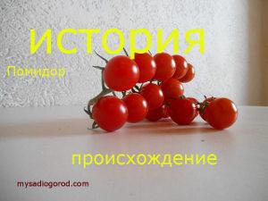 история томатов помидор