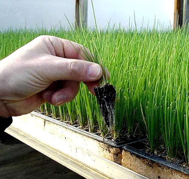 как вырастить рассаду лука батуна