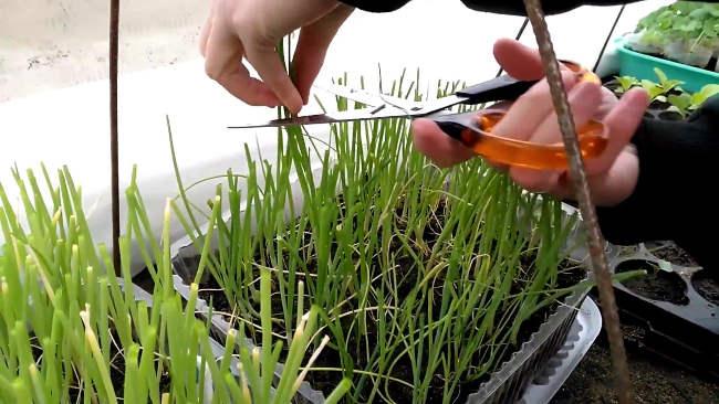 уход за пореем выращивание