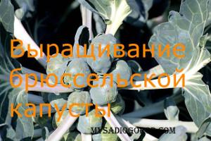 выращивание брюссельская капуста
