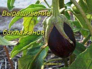 выращивание и баклажанов