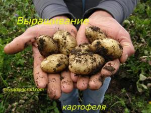 выращивание и картофеля