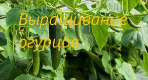 выращивание и огурцов
