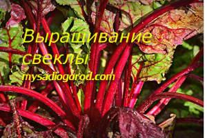 выращивание и свеклы