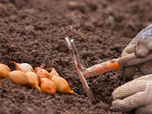 подготовка почвы под шалот