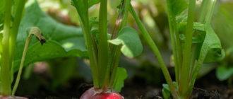 редис выращивание