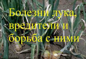 болезни лука