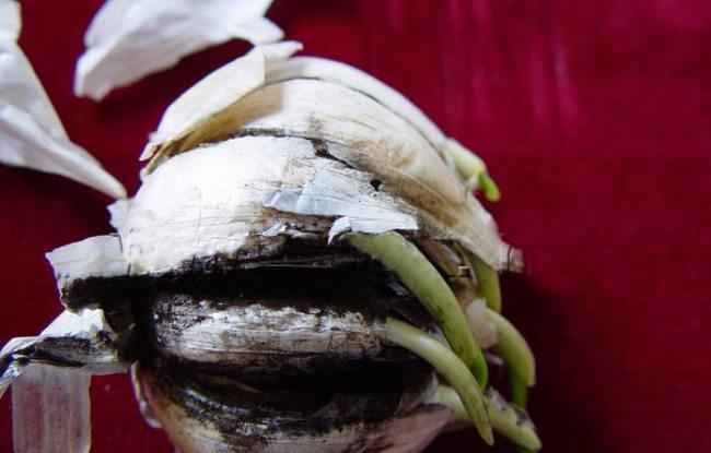 аспергиллез чеснок
