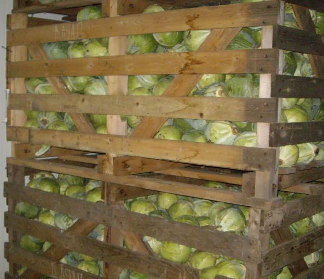 хранить брюссельскую капусту в подвале