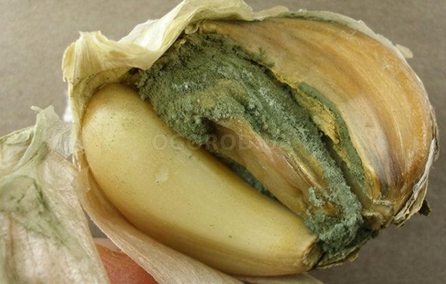 пенициллез чеснок