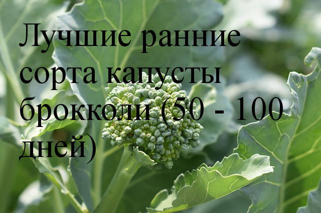 ранние сорта брокколи