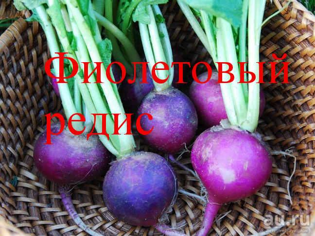 фиолетовый редис сорта