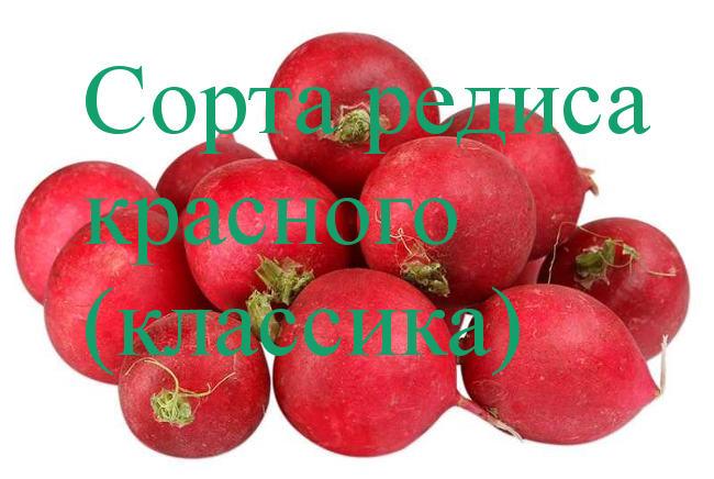 красный редис